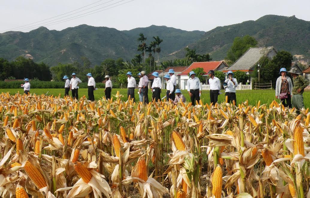 Trong 2 vụ của năm nay, nông dân Duy Xuyên chuyển hơn 151ha đất lúa sang canh tác cây trồng cạn.