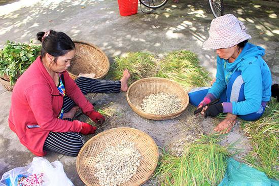 Người dân tách củ nén phơi khô trước khi bán. Ảnh: LÊ BÌNH