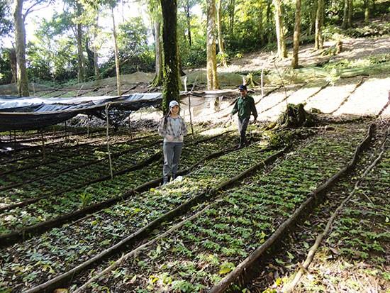 Ngoc Linh ginseng seeds area