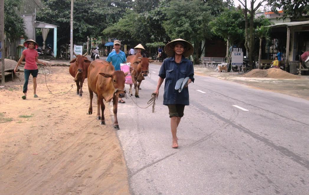 Người chăn nuôi đưa gia súc đến nơi cao ráo tránh lũ lụt.