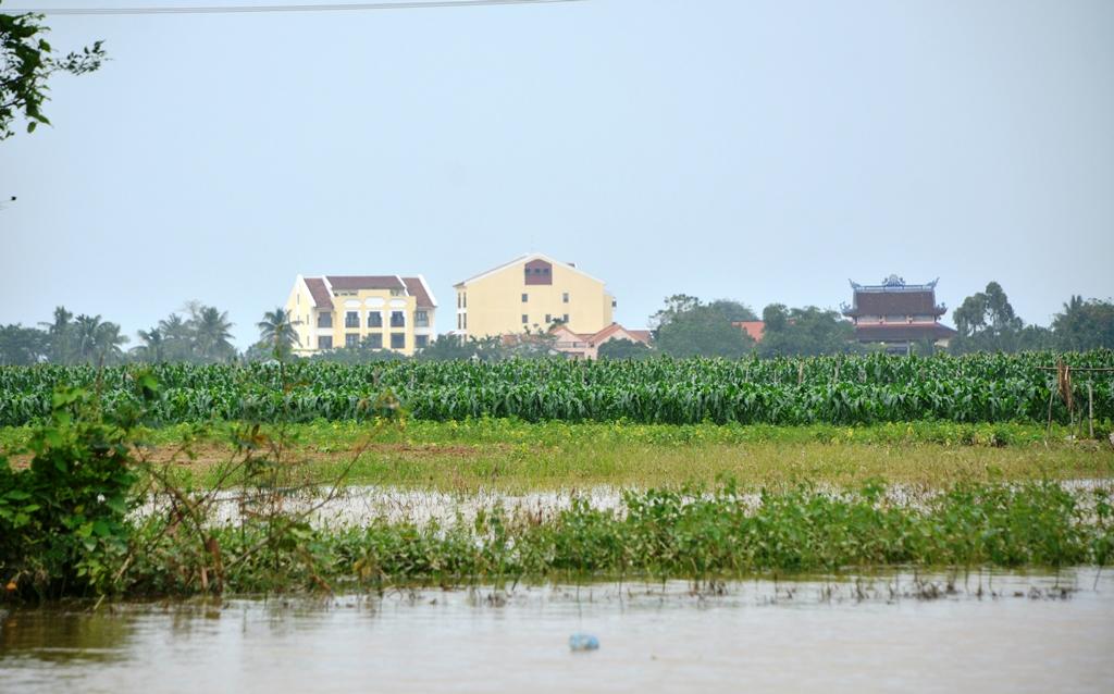 Hàng chục hecta rau màu của người dân xã Cẩm Kim bị ảnh hưởng do nước lũ. Ảnh: XUÂN THỌ