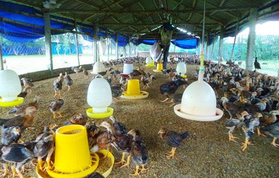 Tổ hợp tác chăn nuôi gà Mười Tín tham gia xây dựng chuỗi giá trị sản phẩm an toàn.