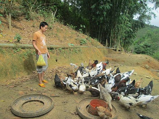 Anh Trần Văn Được chăm sóc đàn gà của gia đình. Ảnh: M.PHƯỜNG