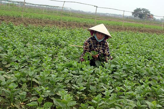 Mưa lũ khiến giá rau tăng cao nhưng người trồng rau không có để bán.