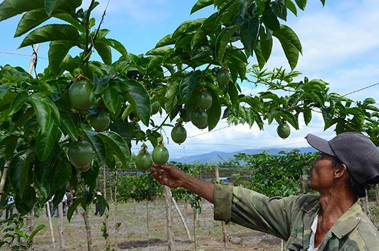 Mấy năm nay, Hiệp Đức có cơ chế chính sách hỗ trợ vượt trội cho nông dân phát triển kinh tế vườn. Ảnh: T.H