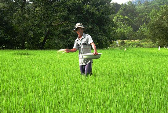 Bón đủ lượng phân cần thiết nhằm giúp cây lúa sinh trưởng và phát triển tốt. Ảnh: M.L