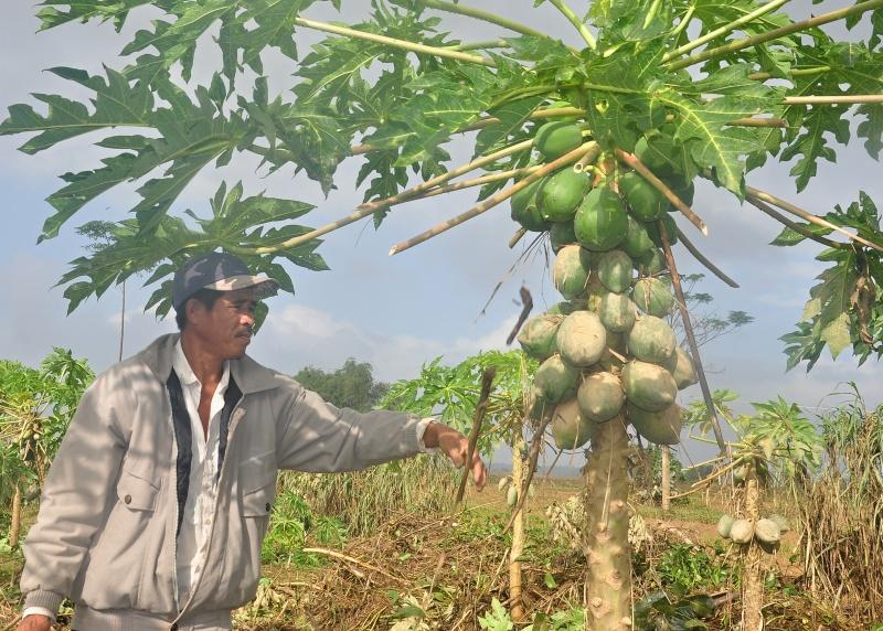 Nông dân xã Điện Phong (thị xã Điện Bàn) kiểm tra ruộng đu đủ sau lũ. Ảnh: VINH ANH