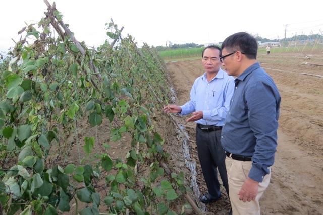 Một số ít diện tích cây đậu có choái tại Bàu Tròn còn sống sót sau lũ cũng tiếp tục héo rũ. Ảnh: Bích Liên