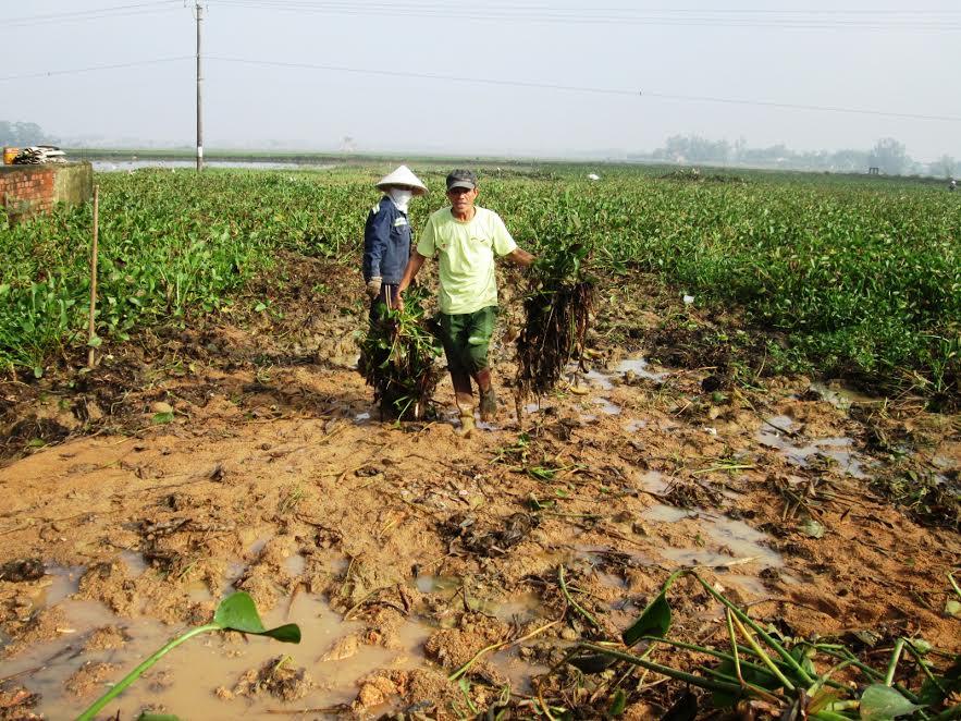 Những ngày qua, nông dân trên địa bàn tỉnh nỗ lực khắc phục tình trạng mặt ruộng bị cát đá bồi lấp, bèo phủ kín.