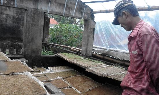 Đây đã là lần thứ 3 ông Huỳnh Tấn Sang, ở thôn Trung Châu, xã Cẩm Kim (Hội An) cấy lại ớt giống, kể từ khi bước vào vụ đông xuân.  Ảnh: L.HIỀN