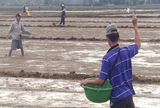 Nông dân thôn Tứ Sơn (xã Bình Trung huyện Thăng Bình) khẩn trương gieo sạ lại cho kịp lịch thời vụ.