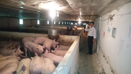 Nhờ được vay vốn của Agribank, ông Lê Phương Đông đã đầu tư trang trại nuôi heo tại thôn Xuân Thái, xã Phú Thọ, huyện Quế Sơn.
