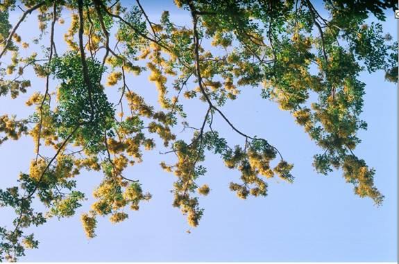 Sưa vàng in bóng trời xanh (ảnh Phú Bình)