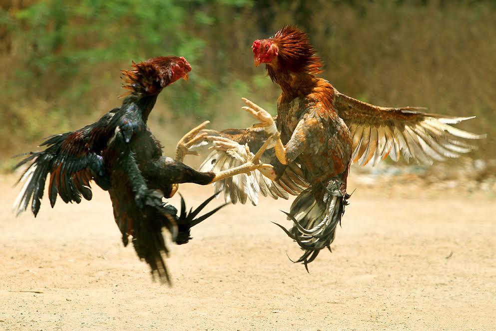 Một thế song tranh quyết liệt của cặp gà chọi