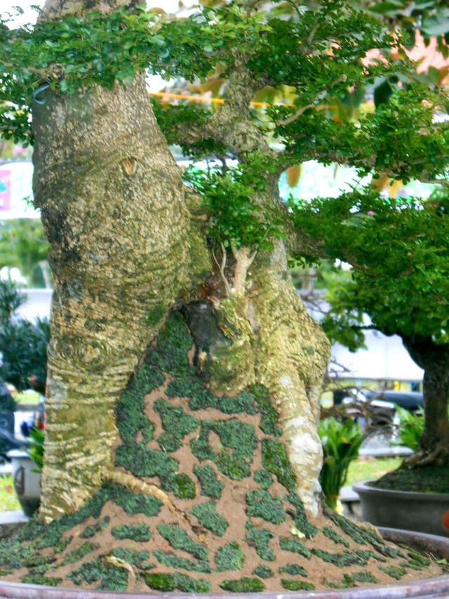 Many kinds of bonsai are ready for spring.
