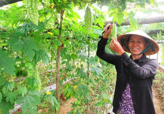 Sáng Mùng 4 tết, nông dân thôn Lang Châu Bắc (xã Duy Phước, Duy Xuyên) thu hoạch khổ qua bán đầu năm.  Ảnh: VĂN SỰ