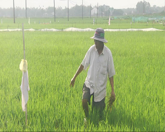 Ông Nguyễn Văn Phụng lội vào giữa ruộng để vớt lá lúa do chuột cắn phá. Ảnh: TÂN BIÊN