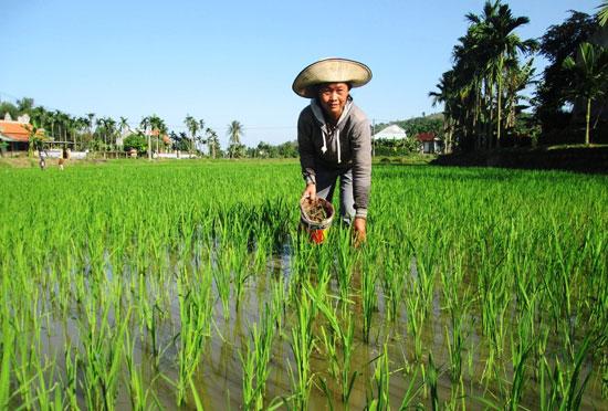 Nông dân thôn Đông Yên (xã Duy Trinh) bắt ốc bươu vàng, bảo vệ ruộng lúa.Ảnh: T.P