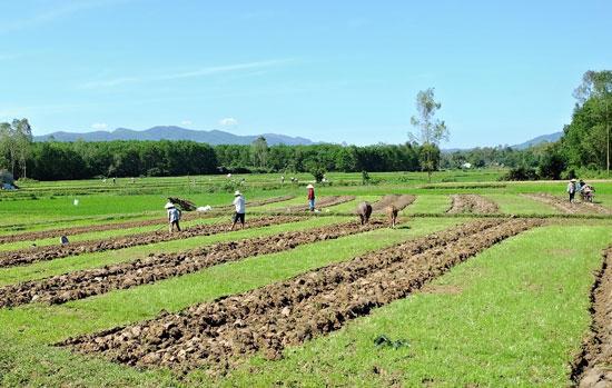 Nông dân Phú Ninh ra đồng sản xuất vụ đông xuân. Ảnh: V.A