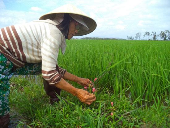 Người dân khối phố An Hà Trung (phường An Phú) đang loay hoay tìm cách diệt trừ ốc bươu vàng cắn phá lúa. Ảnh: T.Q