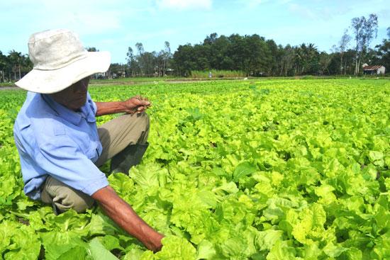 Sử dụng phân hữu cơ vi sinh đem lại hiệu quả thiết thực về kinh tế, cung cấp thực phẩm sạch đến người tiêu dùng. Ảnh: Q.VIỆT