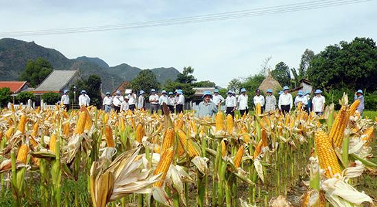 Mô hình canh tác bắp lai trên đất lúa trong vụ hè thu ở xã Duy Sơn (Duy Xuyên) đạt giá trị kinh tế cao. Ảnh: VĂN SỰ