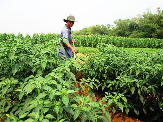 Nhà nông rất cần sự hỗ trợ trong khâu liên kết sản xuất và tiêu thụ sản phẩm.  Ảnh: VĂN SỰ