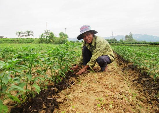 Trong 2 vụ đông xuân gần đây, ông Đoàn Ngà ở thôn Phú Bông (xã Duy Trinh, Duy Xuyên) đã bỏ trồng dưa leo Nhật Bản và quay lại canh tác ớt.Ảnh: VIỆT SỰ