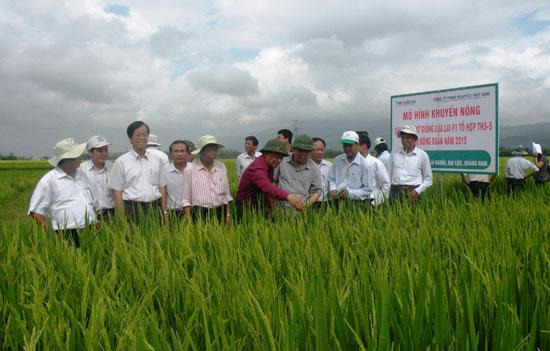 Hợp tác sản xuất giống lúa hàng hóa với các doanh nghiệp, thu nhập của nông dân Đại Lộc tăng 15-45% so với làm lúa thương phẩm. Ảnh: VIỆT SỰ