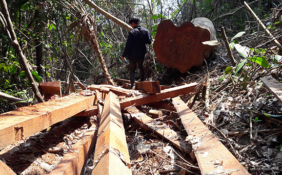 Ở khu vực đỉnh núi Chóp Nón, hàng chục gốc cây cổ thụ đã bị đốn hạ.Ảnh: NGUYỄN DƯƠNG