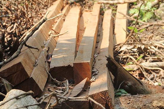 Những phách gỗ còn mới chưa kịp chuyển đi vẫn còn ngổn ngang ở khu vực này. Ảnh: NGUYỄN DƯƠNG