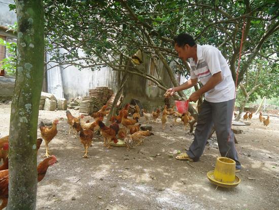 Mô hình nuôi gà tre thương phẩm theo hướng an toàn dịch bệnh tại một số hộ dân Quế Sơn. Ảnh: Hoàng Liên