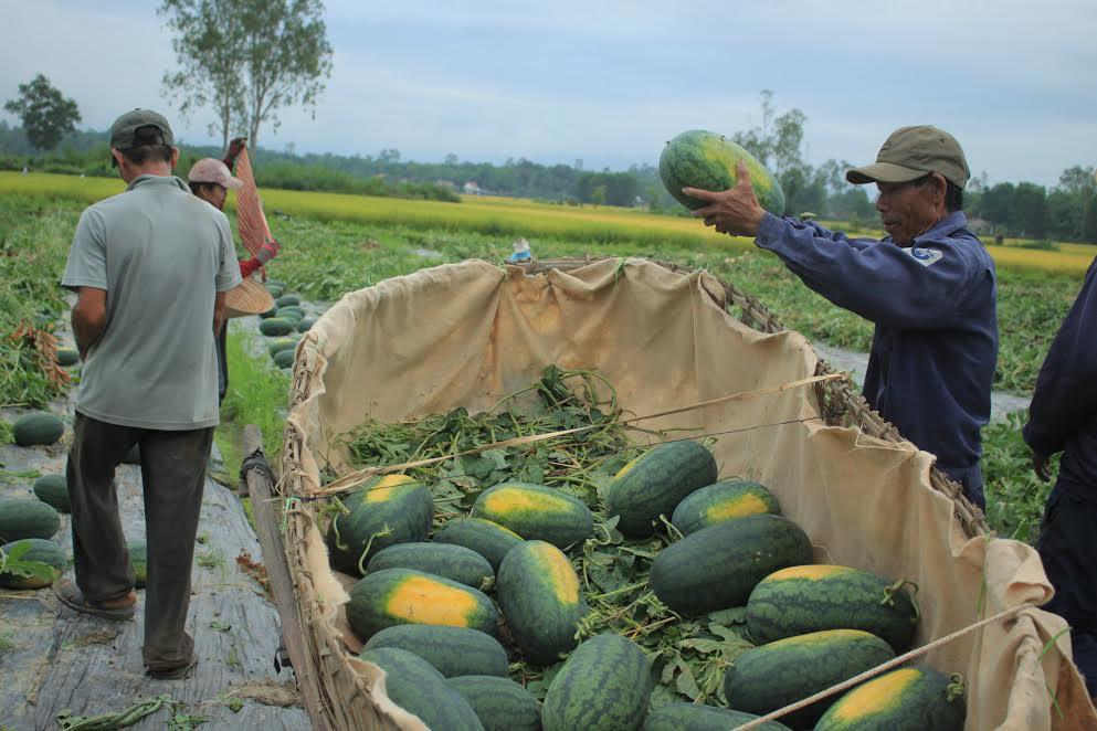 Giá dưa Hắc Mỹ Nhân tăng cao người dân phấn khởi thu hoạch - Ảnh: NT