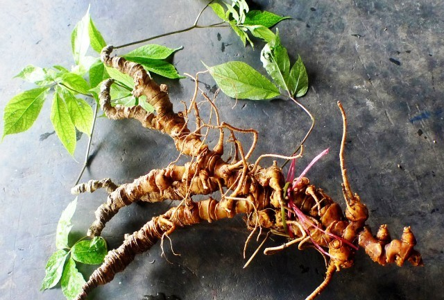 A 200 million VND- Ngoc Linh ginseng root in Nam Tra Mi. Photo: baoquangnam.vn