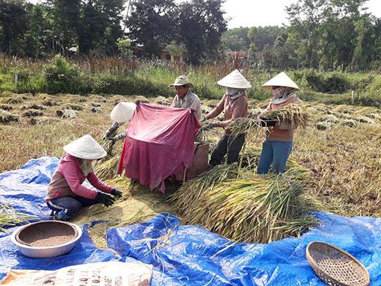 Để phòng tránh ảnh hưởng của thời tiết, nông dân Tiên Phước đang tập trung thu hoạch lúa đông xuân. Ảnh: PHẠM HOÀNG