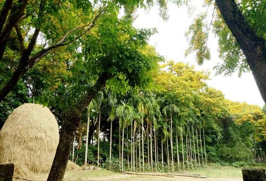 Hoa sưa nở trong vườn nhà người dân làng Hương Trà (Hòa Hương).