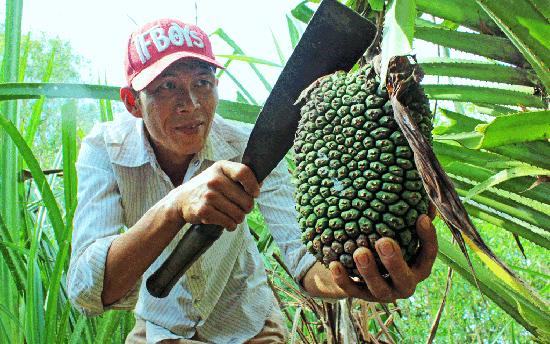 Theo Đông y, nhiều bộ phận của cây dứa dại được sử dụng làm thuốc quý. Ảnh: báo Long An