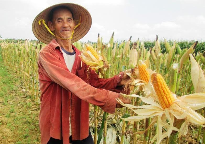 Vụ này, nông dân nhiều địa phương rất phấn khởi vì bắp được mùa toàn diện. Ảnh: NHI TRÚC