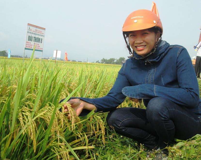Mô hình liên kết sản xuất giống lúa thuần Đài Thơm 8 ở huyện Duy Xuyên mang lại hiệu quả cao. Ảnh: TRÚC PHƯƠNG