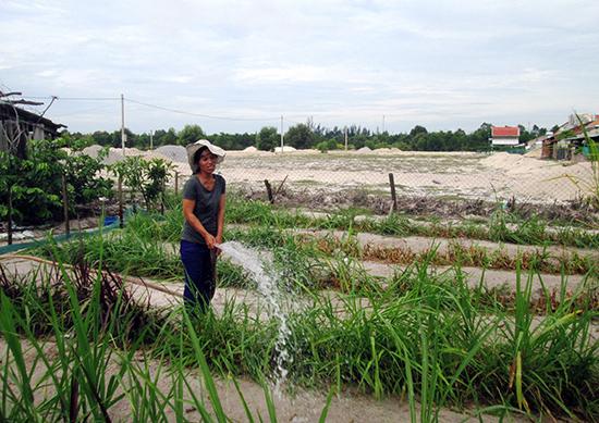 Bà Nguyễn Thị Hương ở khu TĐC trung tâm (Bình Dương, Thăng Bình) mượn lô đất người hàng xóm chưa làm nhà để trồng cỏ nuôi bò. Ảnh: HOÀI NHI