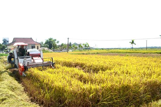 Tập trung ruộng đất là cơ sở quan trọng để tái cơ cấu sản xuất nông nghiệp ở huyện Thăng Bình. Ảnh: N.Q.V