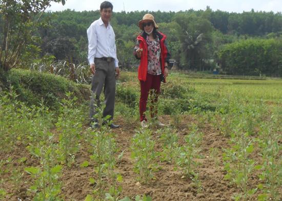 Cây quinoa được gieo trồng khảo nghiệm. Ảnh: B.L