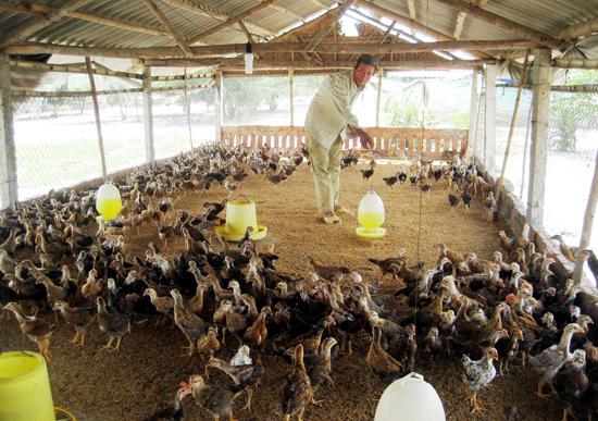 Mô hình chăn nuôi gà theo tiêu chuẩn VietGAP ở xã Tam Thăng (Tam Kỳ) mang lại hiệu quả cao.