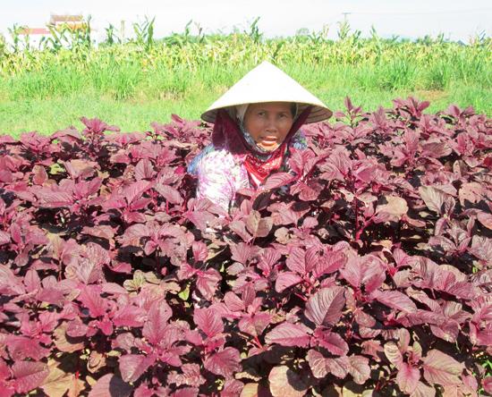 Sản phẩm sạch không tiêu thụ được, nhiều hộ dân ở thôn Lang Châu Bắc (Duy Phước, Duy Xuyên) quay lại phương thức sản xuất truyền thống.