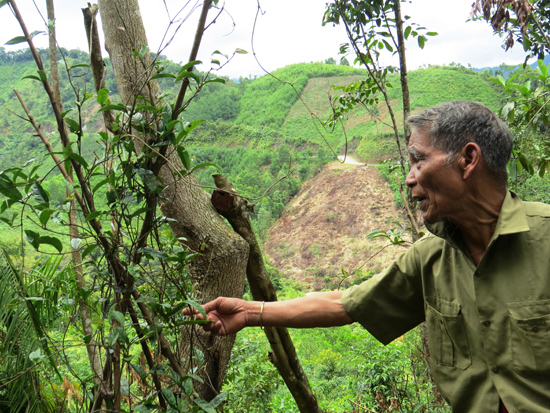 Già Clâu Năm (xã Lăng, Tây Giang) bên vườn ba kích tím dưới tán rừng nguyên sinh. Ảnh: Hoàng Liên