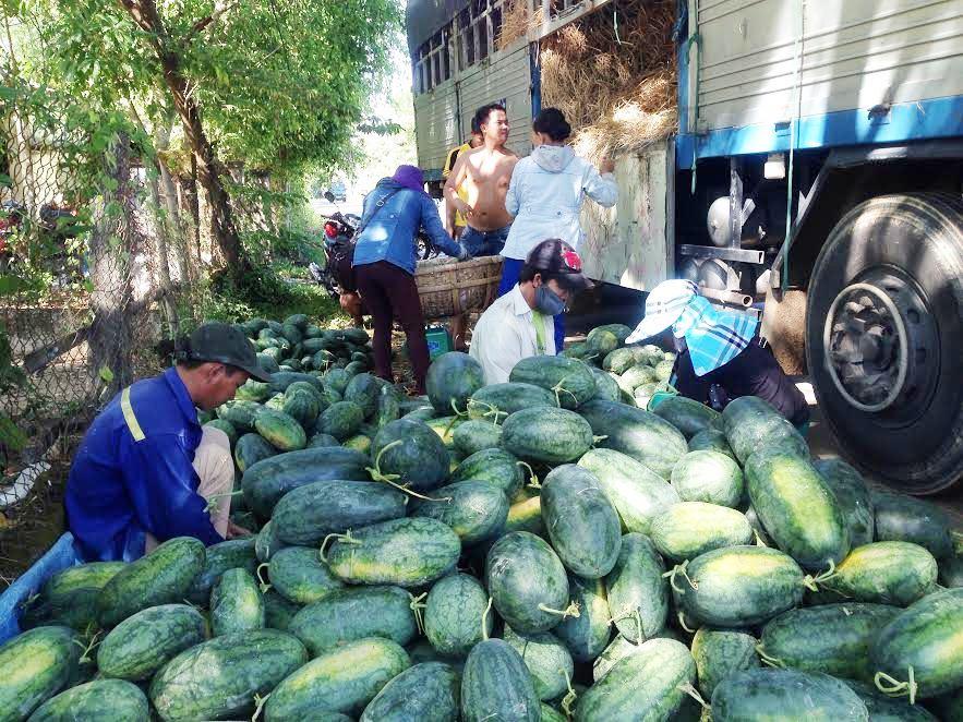 Dưa hấu ở Phú Ninh được giá nên việc mua bán diễn ra rất thuận lợi