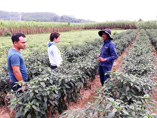 Vùng chuyên canh ớt sừng quả to tại xã Tam Ngọc đang phát triển tốt.  Ảnh: TƯỜNG QUÂN
