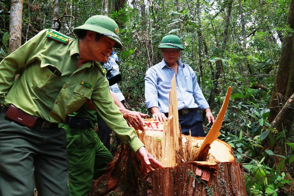 Hiện trường vụ phá rừng pơ mu tại khu vực biên giới Nam Giang. Ảnh: C.N