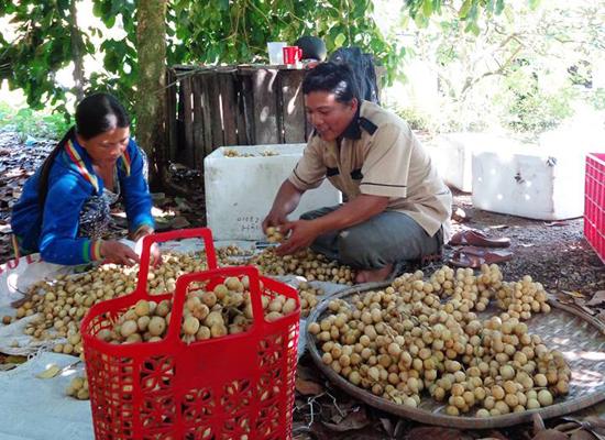 Mùa thu hoạch lòn bon Tiên Phước.