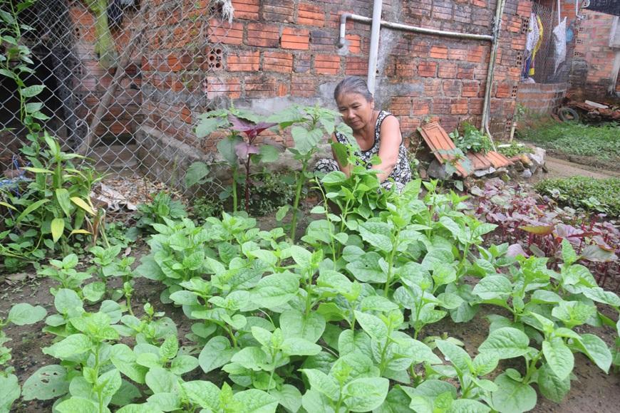 Bà Nguyễn Thị Thu đang cắt rau sạch tại vườn rau sạch của gia đình mình - Ảnh:THANH THẮNG.